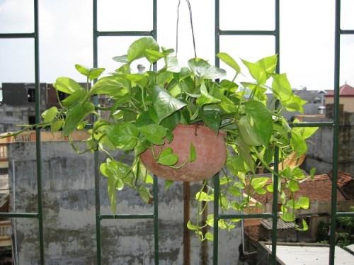 Cây Vạn Niên Thanh ( Dieffenbachia maculata) 1