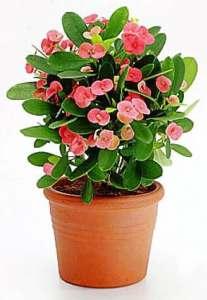 Cây hoa xương rồng bát tiên _ Euphorbia milii 1