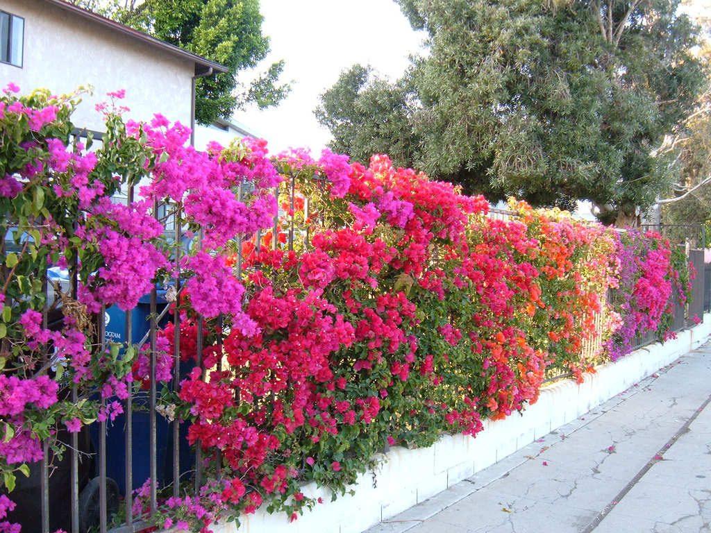 Làm thế nào để Cây Hoa Giấy ra hoa quanh năm 7