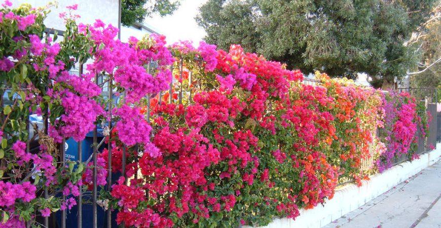 Làm thế nào để Cây Hoa Giấy ra hoa quanh năm 1