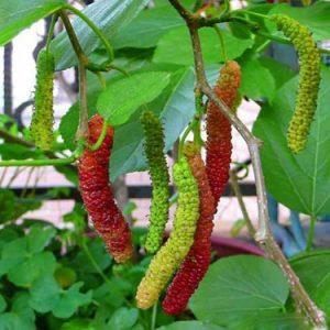 Cây dâu quả dài Đài Loan