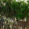 Cây cherry Anh đào 1.5m 4