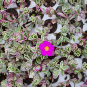 Cây hoa Mười Giờ Thái