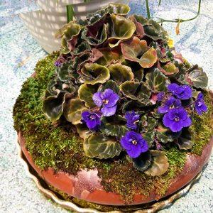 Hoa Violet Nam Phi