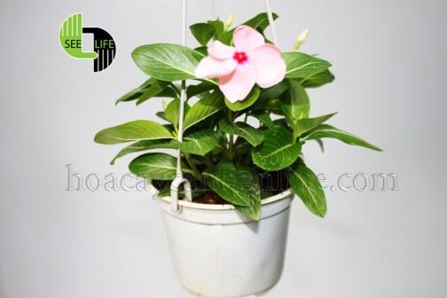 Hoa dừa cạn đứng thái màu hồng phớt