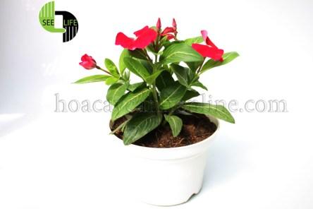 Hoa dừa cạn đứng thái màu đỏ